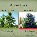 Plant western larch instead of blue spruce.