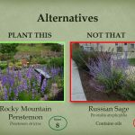Replace Russian sage with Rocky Mountain penstemon.