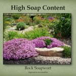 Rock soapwort has a high soap content.