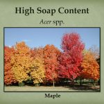 Maples have high soap content. Other Sapindace include: Koelreuteria paniculata Goldenrain tree.