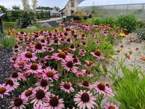 Echinacea, coneflower at the Firewise Demonstration Garden in Boise
