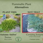 Choose 'Autumn Amber' sumac instead of creeping juniper.