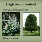 Horse chestnut has a high soap content as well.