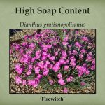 Plants with high soap content are good Firewise choices.