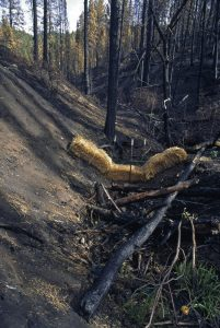 Hay bales being used to control erosion after a stand-replacing wildfire.